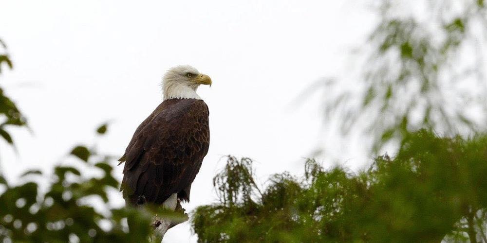 annual mid-winter bald eagle survey